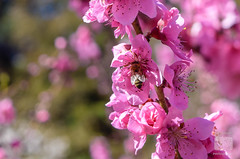 Cherry Blossoms (stardusttphotography) Tags: polinate macro cherryblossoms floralphotography macrophotography bee nature naturephotography fov depthoffield