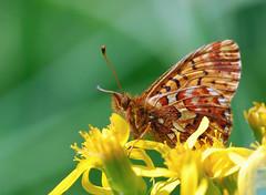 Arctic Fritillary (Laurie Paulik) Tags: arcticfritillaries butterflies fritillaries greenmountaintrail rockymountainnationalpark