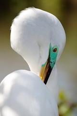 IMG_9093 (redfish1957) Tags: egret birds birding birs white egert wetlands breeding mating beatutiful