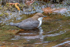 JWL9427  Dipper.. (Jeff Lack Wildlife&Nature) Tags: dipper dippers birds avian animal animals wildlife wildbirds wetlands waterbirds waterways wildlifephotography jefflackphotography rivers riverbirds riverbanks waterouzel streams countryside nature