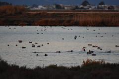 ... y patos (esta_ahi) Tags: deltadelebre aves fauna latancada deltadelebro baixebre tarragona spain españa испания atardecer capvespre ánadereal