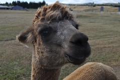 ALPACAS - Alpaga Nouvelle Zelande 2019 (4) (hube.marc) Tags: alpacas alpaga nouvelle zelande 2019 vicugna pacos
