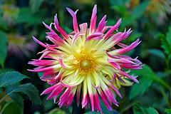 Dahlia (chooyutshing) Tags: flower dahlia display dahliadreams floraldisplay flowerdome gardensbythebay baysouth marinabay singapore