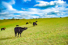 The MOOday blues (Paul Wrights Reserved) Tags: cow cows sky field cloud clouds cloudscape skyscape skyscapes bluesky fields herd cattle farm