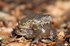 Come together. (ChristianMoss) Tags: common toad bufo amphibian amplexus