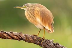 Squacco heron / Ralreiger (Wim Hoek) Tags: zimangalagoonhide birds ralreiger zimangagamereserve reigers afrika africa ardeidae ardeolaralloides squaccoheron vogels uphongolonu kwazulunatal southafrica za