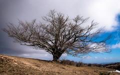 Canfaito - San Severino Marche (luigi.alesi) Tags: italia italy marche macerata san severino riserva naturale del monte vicino e canfaito albero tree faggio natura nature nikon d750 raw