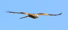 Red Kite (Milvus milvus) (Colin Pinchen) Tags: redkite milvusmilvus aves accipitriformes accipitridae bird raptor cotswolds england gloucestershire colin pinchen
