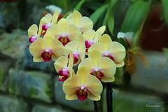 "Phalaenopsis Sin-Yaun - Golden Beauty (hmeyvalian) Tags: phalaenopsis""sinyuan"" eukaryota plantae magnoliophyta liliopsida liliidae asparagales orchidaceae jardin botanique grandeserre montréal québeccanada"