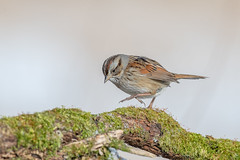 Swamp sparrow (Joe Branco) Tags: photoshop lightroom canada ontario macro forest grass nature sparrow bird birds joe nikond850 joebrancophotographer swampsparrow green