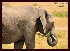 AFRICAN ELEPHANT (Loxodonta africana)....MASAI MARA....SEPT 2018. (M Z Malik) Tags: nikon d3x 200400mm14afs kenya africa safari wildlife masaimara keekoroklodge exoticafricanwildlife elephants ngc npc