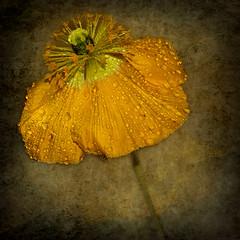 Pavot 4 (gisèlerichardet) Tags: fleur flower pavot poppy jaune texture textured textura yellow gouttes drops canon macro pétale coeur eau pluie