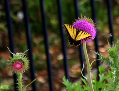 Purple Thistle with Yellow Butterfly (austexican718) Tags: texas native fauna centraltexas hillcountry flora butterfly thistle flower insect interior weed animal nature garden wildlife wildflower yellow purple green bee