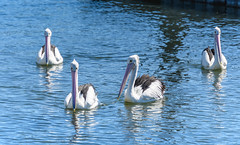 Pelicans at the Waterfront (Merrillie) Tags: woywoy waterfront bills nature water birds newsouthwales nsw brisbanewater wildlife feathers fourofakind australia coastal wings outdoors animals fauna centralcoast bay pelican