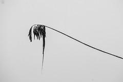 Reeds (mellting) Tags: eskilstuna nikond500 platser sigma1506005063sport skjulsta bloggad flickr instagram matsellting mellting nikon sverige sweden phragmitesaustralis reeds vass monochrome bnw blackandwhite