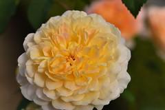 Rose 'Molineux' raised in UK (naruo0720) Tags: rose englishrose britishrose molineux bredbydavidaustin englishrosescollection バラ イギリスのバラ ブリティッシュローズ モリニュー オースティンのバラ イギリスのバラコレクション nikonscamera sigmalenses d810 sigma105mmf28exdgoshsm