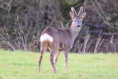 Roebuck (Terry Angus) Tags: deer roedeer roebuck norden rochdale uk animal wildlife