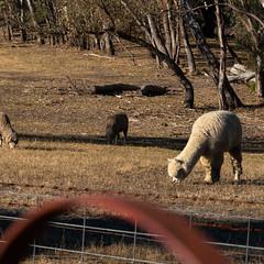 Llama (ThyNameIsBlair) Tags: australia outback bendigo farmlife オーストラリア アウトバック ベンディゴ 牧場ライフ