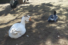Goose @ Aviary @ Volière de l'Impérial @ Annecy (*_*) Tags: 2019 winter hiver february sunny europe france hautesavoie 74 savoie annecy animal bird