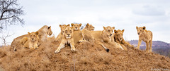 royal family - Kruger, South Africa (Andre Yabiku) Tags: lion southafrica safari africa kruger wildlife wildlifephotography andreyabiku yabiku