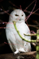Snowy owl / Harfang des neiges (Adrien Farese) Tags: bird prey rapace zoo amnéville bubo scandiacus snowy owl harfang neiges