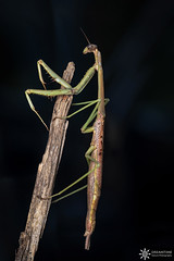 Archimantis latistyla (Dreamtime Nature Photography) Tags: archimantislatistyla macro mantis arthropoda insect insecte wildlife closeup homemadediffuser diydiffuser dreamtimenaturephotography woolgoolga nsw australia