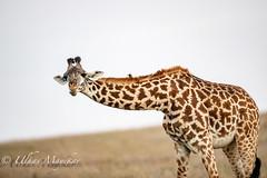 Giraffe (mayekarulhas) Tags: narok riftvalleyprovince kenya ke giraffes wildlife wild safari maasai africa