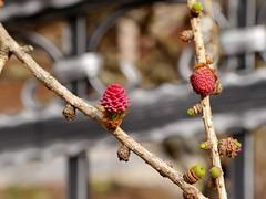 Lärchenblüte / Larches flowering (rudi_valtiner) Tags: lärche larch blüte blossom rosa pink frühling spring springtime baum tree flatz niederösterreich loweraustria österreich austria autriche fe