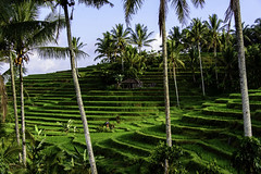 bali rice fields (Greg M Rohan) Tags: riceterraces hut landscape country holidays travel baliricefields ricefield indonesia bali asia trees green palmtrees palms d750 2018 nikon nikkor