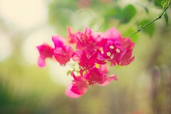 🌺 (cimsunf0702) Tags: pink violet flower beauty pretty bokeh vintage manual focus sony a7r2 magical