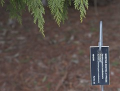 Xanthocyparis nootkatensis 'Pendula', 2019 photo (F. D. Richards) Tags: harpercollectionofraredwarfconifers hiddenlakegardens tiptonmi hri bedi michigan usa