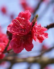 Pfirsich / peach (Prunus persica Kurowaka-yaguchi) (HEN-Magonza) Tags: pfirsich peach prunuspersicakurowakayaguchi botanischergartenmainz mainzbotanicalgardens rheinlandpfalz rhinelandpalatinate deutschland germany frühling spring flora