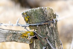 Frosted (garshna) Tags: fence wire frost hoarfrost rotting outside landscape outdoors happyfencefriday moss decaying staples nails lichen barbwirefence