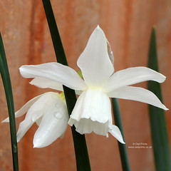 Narcissus 'Thalia' (Owl Prints) Tags: mygarden narcissusthalia narcissus daffodils whiteflowers white raindrops spring bulbs amaryllidaceae closeupphotography