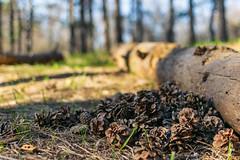У сосновому лісі (ucrainis) Tags: pine forest tree trunk khortytsia nature close cone cones evening spring