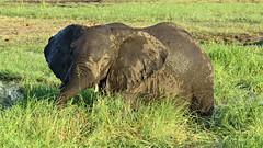 Botswana Elephant in the mud in Chobe National Park (h0n3yb33z) Tags: botswana animals wildlife chobenationalpark elephant mud africa
