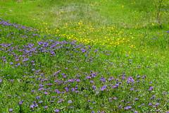 Texas Wildflowers (austexican718) Tags: centraltexas hillcountry wildflower ranch flower grass purplegreen gillespiecounty
