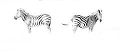 High Key Zebras (Thomas Retterath) Tags: thomasretterath nature natur 2018 safari nopeople okavangodelta botswana africa afrika khwai wildlife highkey zebra equidae pflanzenfresser herbivore säugetier mammals animals tiere epuusquagga coth5