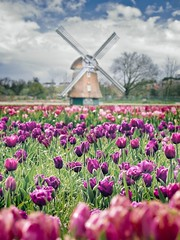 Tulipark and Windmill, Rome (Italy) (al.scuderi71) Tags: windmill windmills mulino vento wind flower flowers field campo on1photoraw2018 on1pics panasonicgh4 panasonic italy italia roma rome tulipark tulip tulipani tulips spring purple nature