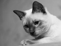PC230894 (Vladimir V. Samoylov) Tags: olympus omd em5markii microfourthirdsmicro43 micro43 m43 μ43 mono monochrome bnw mzuiko75mmf18 75mm cat feline