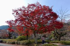 Momiji (eeshawn.) Tags: japan kyoto arashiyama autumn maple momiji eeshawn