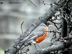 DSCN6559 American Robin (Turdus migratorius) (vlupadya) Tags: greatnature anmal bird aves fauna american robin turdus baskingridge newjersey usa