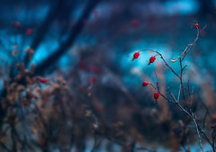 Winter Whispers (miss.interpretations) Tags: winter ice snow cold chill season mountain blue turquoise stream colorado red berries rush bush details intricate nature outdoor close up bokeh blur background muted moody melancholy missinterpretations rachelbrokawphotography call song music