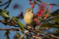 His Return (ACEZandEIGHTZ) Tags: palmarum palm dendroica warbler nikon d3200 tree birdwatcher backyard branches jatropha coth coth5 sunrays5
