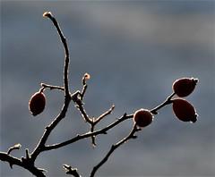 (Gerlinde Hofmann) Tags: germany thuringia village bürden hoarfrost rosehip four