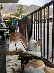 Lunch in Palm Springs (A Wild Western Heart) Tags: cane hund chien perro dog winter palmtrees thaismile desert california lunch palmsprings misslilybelle