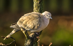 Collared Dove. (Tony Smith Photo's) Tags: beak bird branch dove feathers garden green grey nature neck perched tree wild wildlife wing animal background birdwatching cold collar collared collareddove colorful columbidae coo cooing eurasiancollareddove fauna feather gray ornithology outdoor peace plumage sit weather winter