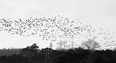 Wigeon Flock Over Cresswell (Gilli8888) Tags: cresswell cresswellponds northumberland northeast countryside nikon p900 coolpix birds waterbirds blackandwhite trees flock geese birdsinflight wigeon ducks landscape