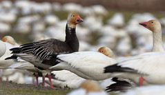 Stands Out in the Crowd (brian.bemmels) Tags: chen caerulescens chencaerulescens snowgoose goose bluemorph nature fauna outdoors wildlife bird birdsofbc richmond bc britishcolumbia canada garrypoint