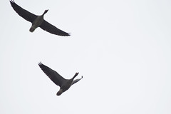 (monicadimarco) Tags: animals animali birds birdwatching uccelli couple paesibassi outdoor olanda outside allaperto amsterdam netherlands monicadimarco monicadmarco nature natura cielo sky 2 volare fly